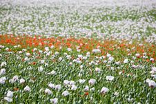 Free Poppy Field Stock Images - 5617334