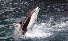 Free Jumpping Dolphin Stock Image - 5617501