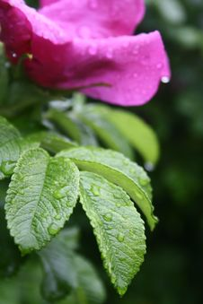 Free Raindrops On The Flower Royalty Free Stock Images - 5617719