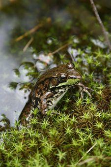 Free Green Frog Royalty Free Stock Photo - 5618365