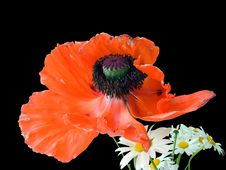 Free Red Poppy And Camomiles Stock Photography - 5618732