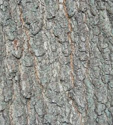 Free Tree Bark Royalty Free Stock Photography - 5619027