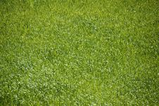 Free Tall Green Grass Background Royalty Free Stock Photos - 5619028