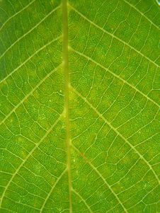 Free Walnut Leaf Texture Royalty Free Stock Photos - 5619088