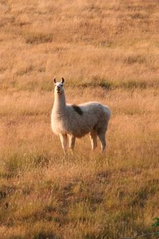 A Lone Llama In A Golden Field Royalty Free Stock Image