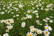 Free Camomiles On Meadow Stock Photos - 5619783