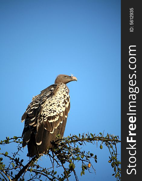 Vulture in a Tree