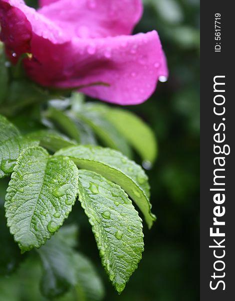 Raindrops on the flower