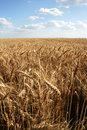 Free Wheaten Field With Large Ears Stock Photo - 5621490