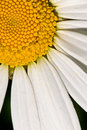 Free Camomile Stock Photography - 5623422