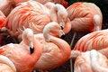 Free Flamingo Flock Royalty Free Stock Photo - 5623645