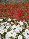 Free White Red And Purple Flowers Royalty Free Stock Image - 5623706