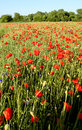 Free Poppies - Flowers Royalty Free Stock Photography - 5627077