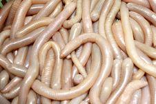 Free Clamworm Royalty Free Stock Photography - 5620077