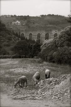 Sheep At Pasture, Spoleto Stock Photography