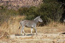 Free Burchell S Zebra Royalty Free Stock Photo - 5620875