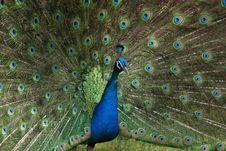 A Peacock In His Pride Stock Photos