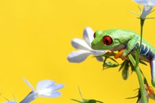 Free Red Eyed Tree Frog Royalty Free Stock Photo - 5621145