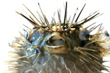 Free Sea Fish Royalty Free Stock Image - 5621376