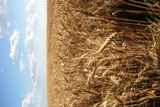 Wheaten Field With Large Ears Stock Photo