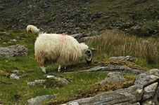 Ram Grazing Royalty Free Stock Images