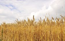 Free Wheat Field Royalty Free Stock Images - 5622569
