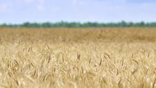 Free WHEAT BEFORE HARVEST Stock Images - 5622684
