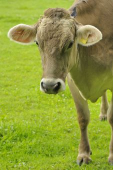 Free Cow Close Up Royalty Free Stock Photography - 5622747