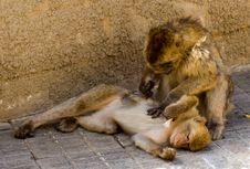 Free Monkey Feeling Stock Photography - 5622982