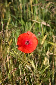Free Single Red Poppy Royalty Free Stock Photography - 5623047