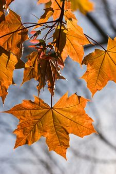 Free Maple Leaf Royalty Free Stock Photo - 5623055