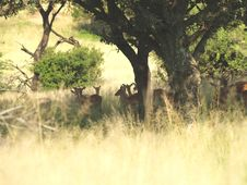 Free Impala Herd Stock Images - 5623404