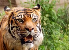 Free Siberian Tiger Stock Photography - 5623622