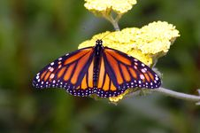 Free Monarch Butterfly Royalty Free Stock Photo - 5623675