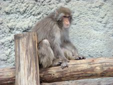 Japanese Macaque, Snow Monkey Macaca Fuscata Stock Photo