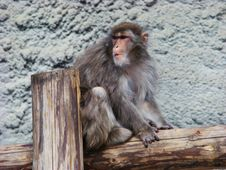 Japanese Macaque, Snow Monkey Macaca Fuscata Royalty Free Stock Photo