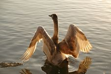 Free Swan (Cygnus) Stock Photography - 5625072
