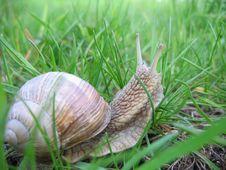 Snail. Royalty Free Stock Photography