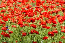 Free Poppies - Flowers Stock Images - 5625814