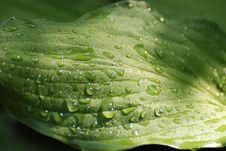 Hosta Leaf Royalty Free Stock Photos
