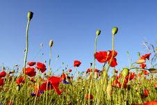 Free Poppies - Flowers Stock Photos - 5625913
