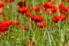 Free Poppies - Flowers Royalty Free Stock Photography - 5625987