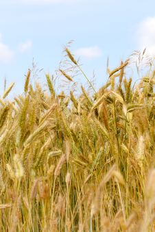 Free Golden Wheat Field Stock Photos - 5626133