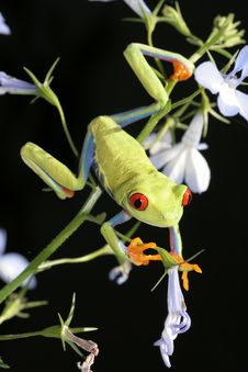 Free Red Eyed Tree Frog Royalty Free Stock Photo - 5626285