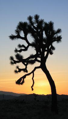 Free Joshua Tree Stock Image - 5626321