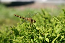 Free Dragonfly Royalty Free Stock Image - 5627786