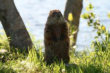 Free Marmot 8 Stock Image - 5627801