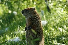 Free Marmot 8 Royalty Free Stock Photo - 5627805