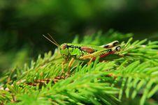 Free Grasshopper Royalty Free Stock Photography - 5627817
