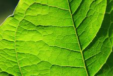 Free Leaf Detail Royalty Free Stock Photo - 5627905